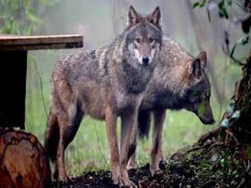 I lupi nelle vallate del santerno e del sillaro sono ormai for Ardeatina arredamenti di lupi gabriella
